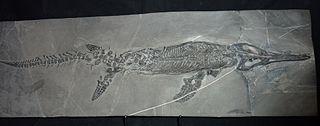 <i>Mixosaurus</i> genus of reptiles (fossil)