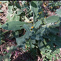 Molène noire-Verbascum nigrum-Feuilles-20140821.jpg