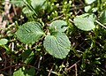 Moneses uniflora kz01.jpg