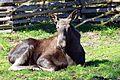 Moose at skansen (13949471356).jpg
