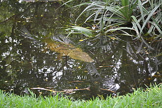 Morelet's crocodile - Morelet's crocodile waiting for an ambush.