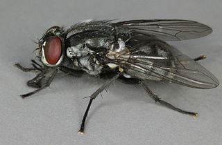 <i>Morellia simplex</i> Species of fly
