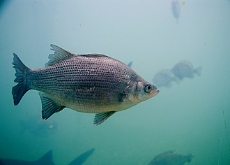 Morone - White bass (M. chrysops)