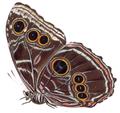 Morpho deidama granadensis - BCA.png