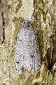 Moth (Lepidoptera) - Kitchener, Ontario 01.jpg