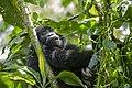 Mountain gorilla (Gorilla beringei beringei) 18.jpg