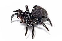 Mouse spider.jpg