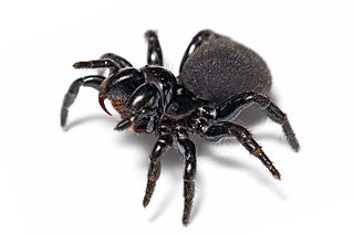 suborder within Order Araneae