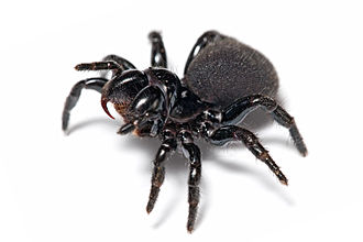 Mygalomorphae - Missulena bradleyi, a mouse spider