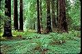 Muir Woods National Monument, California (1248ff2d-1529-4649-976e-ce01988f0018).jpg