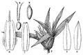 Munroa squarrosa HC-1900.png