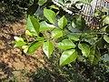 Murraya paniculata 01.JPG