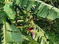 Musa paradisiaca (2913869459).jpg