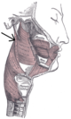 Musculusstylopharyngeus.png