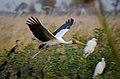 Mycteria ibis -near Kwara Camp, North-West District, Botswana -flying-8.jpg