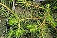 Myriophyllum propium 0zz.jpg