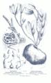 Myrmecophytes GS453.png