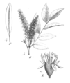 Myrocarpus frondosus Taub101b.png