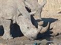 N'Gala - White Rhino mother and son at waterhole - panoramio.jpg
