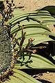 N-welwitschia-2.jpg