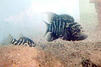 Nandopsis tetracantus.jpg