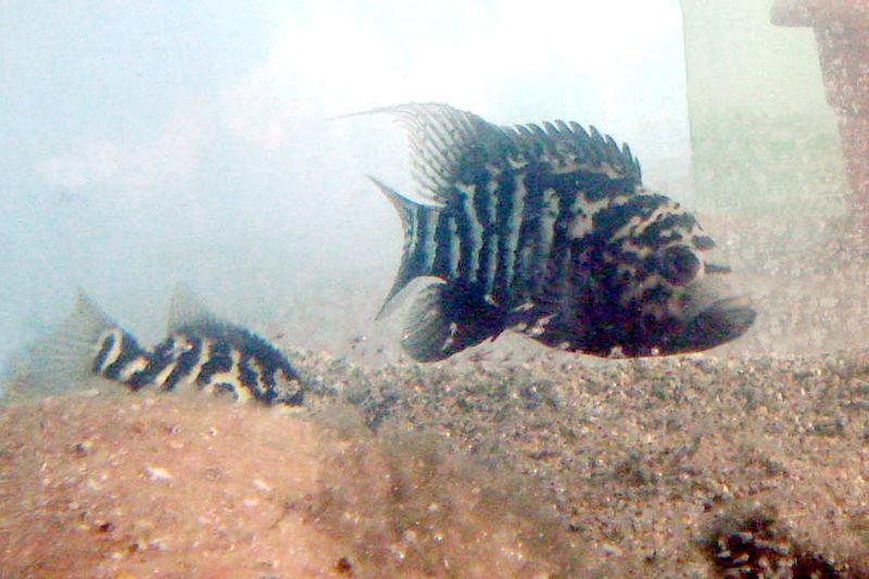 File:Nandopsis tetracantus.jpg