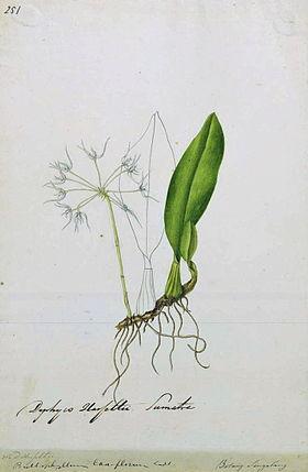 Naturalis Biodiversity Center - L.2096051 - Bulbophyllum laxiflorum - Artwork - cropped.jpg