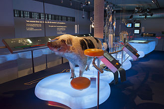 Genetically modified animal - Transgenic pig for cheese production