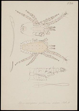 Nymph (biology) - Image: Naturalis Biodiversity Center RMNH.ART.1253 Dermanyssus gallinae (de Geer) Mites Collection Anthonie Cornelis Oudemans