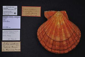 Nodipecten nodosus - Museum specimen with successive species labels, Naturalis