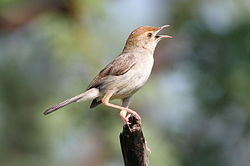 Piping Cisticola song, recorded in Cape Province, South Africa