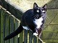 Neighbourhood cat (16820238287).jpg