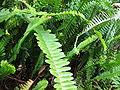Nephrolepis cordifolia (Habitus).jpg