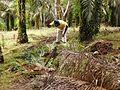 Nettoyage de la palmeraie (Cameroun).jpg