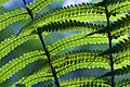 New Zealand - Ferns - 8573.jpg
