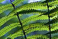 New Zealand - Ferns - 8573.jpg