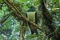 New Zealand Pigeon - New Zealand (39212851372).jpg
