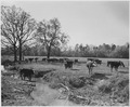 Newberry County, South Carolina. Sheep. No detailed description given. - NARA - 522717.tif