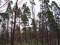 Nice forest (3214858736).jpg