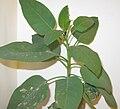 Nicotiana glauca Los Angeles 1.jpg