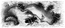 Die Totengräber 220px-Nicrophorus_vespillo_Totengraeber_Brehms