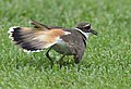 No one can fake an injury like a Killdeer (34936658675).jpg