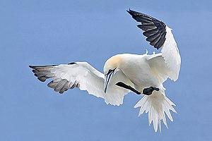 Sulidae - Northern gannet (Morus bassanus) preparing to land