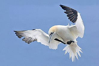 Sulidae - Northern gannet (Morus bassanus) preparing to land