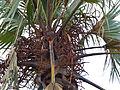 Northern Lala Palm (Hyphaene petersiana) flowers (11755189765).jpg