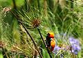 Northern Red Bishop.jpg