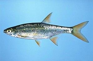 Shiner (fish)