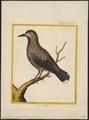Nucifraga caryocatactes - 1700-1880 - Print - Iconographia Zoologica - Special Collections University of Amsterdam - UBA01 IZ15700171.tif