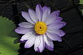 Nymphaea 'Kew's Stowaway Blues'-IMG 5495.jpg