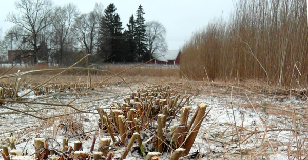 Nyskördad Salix.png